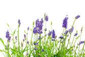 Beyaz zemin üzerinde lavanta çiçeği — Stok fotoğraf