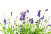 Flower of lavender on a white background — Stock Photo
