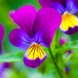 Violas or Pansies Closeup in a Garden — Stock Photo #21253725