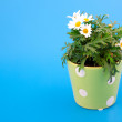 Marguerite on blue background — Stock Photo