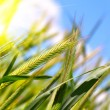 Wheat harvest on blue sky with sun — Stock Photo