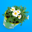 Stock Photo: Marguerite on blue background