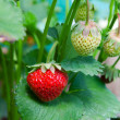closeup of fresh organic strawberries growing on the vine — Stock Photo