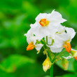 Stock Photo: White flower of potato plant.