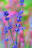 Lavender flower field, macro with soft focus — Stock Photo
