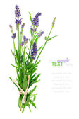Bunch of lavender on a white background — Stock Photo