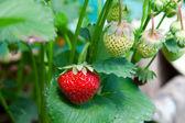 Zbliżenie świeże truskawki ekologiczne uprawy na winorośli — Zdjęcie stockowe