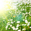Daisies in a meadow with sunlight — Stock Photo