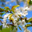 Apple blossom. close up of a beautiful spring apple tree against - Stock Photo