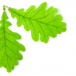Green oak leaf isolated on white background. — Stock Photo
