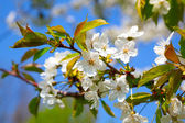 Apple blossom. close up of a beautiful spring apple tree against — Stock Photo
