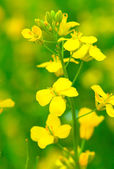 Colza (Brassica rapa). Rape flower on field — Stock Photo