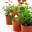 Blooming fuchsia and geranium in the pot, isolated on a white ba — Stock Photo