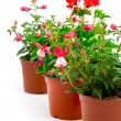 Blooming fuchsia and geranium in the pot, isolated on a white ba - 