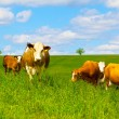 Cow on a green pasture - Stock Photo