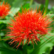 Flowering Scadoxus puniceus, ,Paintbrush Lily - Stock Photo