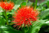 Flowering Scadoxus puniceus, ,Paintbrush Lily — Stock Photo