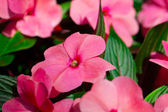Impatiens flowers — Stock Photo