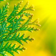 Royalty-Free Stock Photo: American Arborvitae,  macro