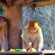 Stock Photo: Two macaque eating fruits