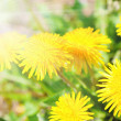Yellow dandelion flowers with sunlight , spring photo — Stock Photo