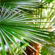 Green palm leaf — Stock Photo #22835646