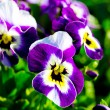 Violas or Pansies Closeup in a Garden — Stock Photo #22836026