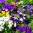 Variety of petunias - Stock Photo