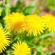 Yellow dandelion flowers with leaves in green grass, spring phot - Stock Photo
