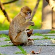 Barbary macaque eating coconut - Photo