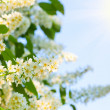 Branch of bird cherry in front of blue sky with sunlight - Stock Photo