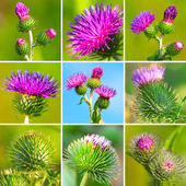 Assortment of bur thorny flower. (Arctium lappa) — Stock Photo