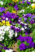 Variety of petunias — Stock Photo
