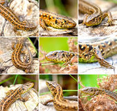 Set of Sand Lizard (Lacerta agilis) — Stock Photo