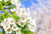 Apple bloom — Stock Photo