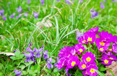 Beautiful primulas flowers on green grass background — Stock Photo