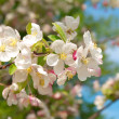 Branch blossoming apple-tree in the spring  — Stock Photo