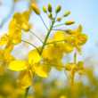 Rapeseed - Stock Photo