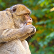 Portrait of macaque — Stockfoto #23242092