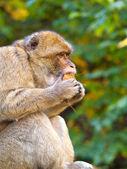 Retrato de macaca — Fotografia Stock