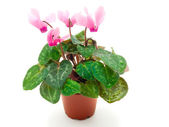 Pink cyclamen in pot — Stock Photo