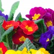 Stock Photo: Assorted primula flowers isolated on white background. colorful