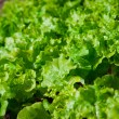 Lettuce seedlings in a vegetable garden — Stock Photo