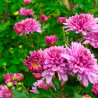Chrysanthemum flowers in the garden — Foto de Stock