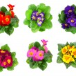 Stock Photo: Set of colorful primula isolated over white background