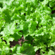 Fresh tasty salad on field. lettuce plantation — Stock Photo #24496423