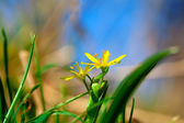 Yellow Star-of-Bethlehem (Gagea lutea), yellow spring flower — Stock Photo