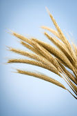 Yellow ears of wheat, on blue background — Stock Photo