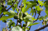 Figs on branch of the fig tree — Stock Photo