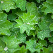 Stock Photo: Green Astilboides leaves, shady flower bed with raindrops